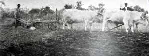 Attelage de vaches à Chassigny sous dun 4