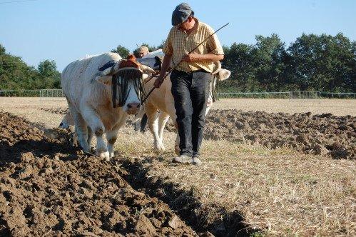 Premiers labours pour Froment et Azalée à Vitry en Charollais les 8 et 9 septembre 2012 2