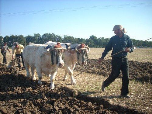 Premiers labours pour Froment et Azalée à Vitry en Charollais les 8 et 9 septembre 2012 4