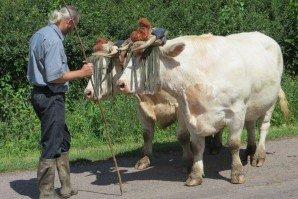 Taille d'un joug vache boeuf 11