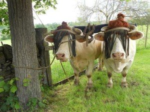 Taille d'un joug vache boeuf 9